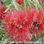 Love Remedies Blütenessenzen Bottle Brush