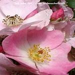 Wild Rose Essenzen der Love Remedies
